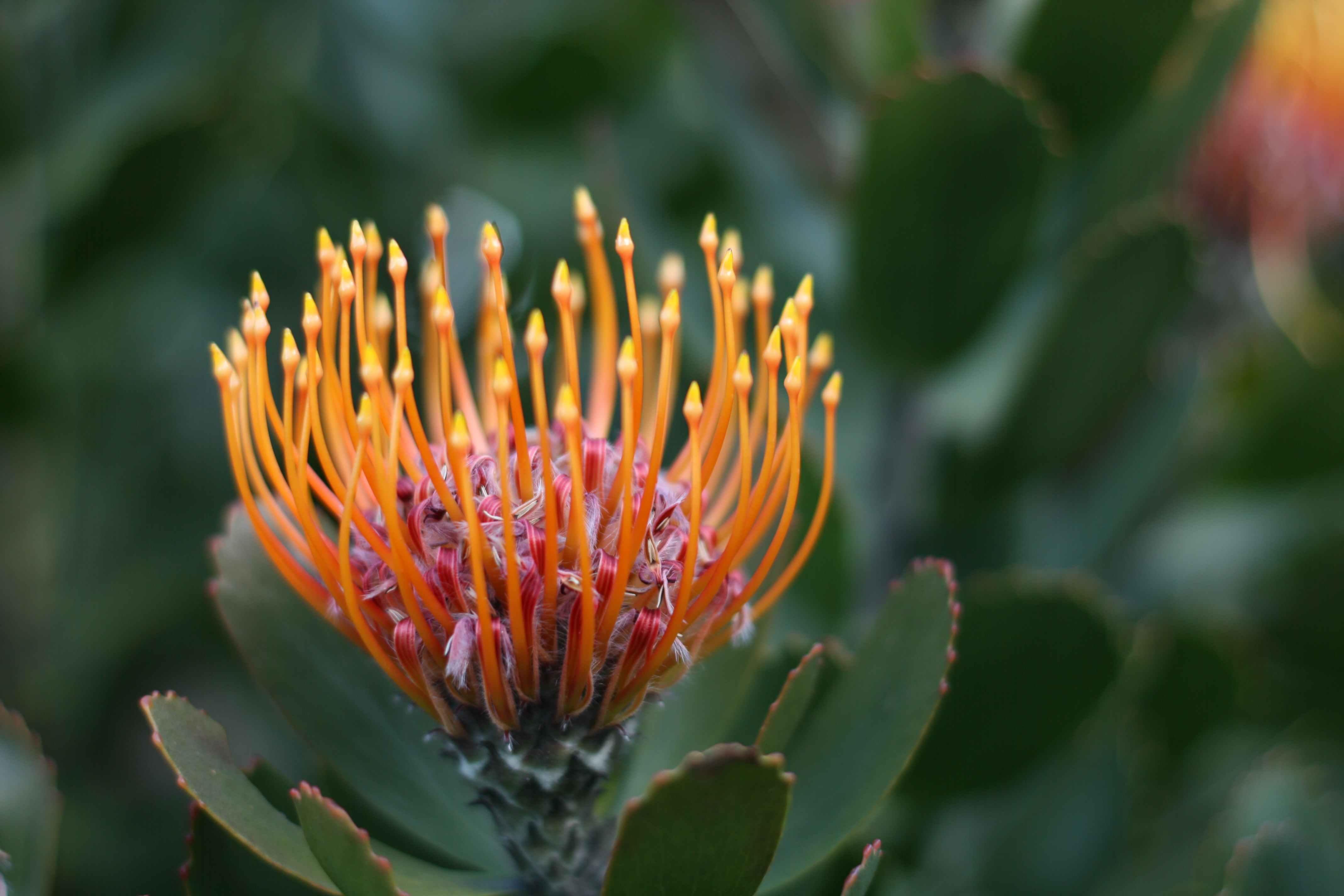 Protea Celia